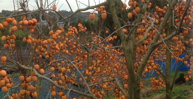 PRODUCTS - PERSIMMONS